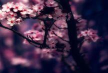 Sakura/ Cherry Blossom