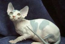 Cat Breeds / Different Breeds and Colors of Cats