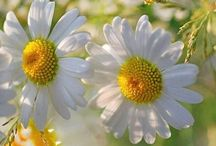 MY DAİSES / ❤️❤️❤ LOVE ❤️❤️❤️DAİSY FLOWERS are the GARDEN OF  GOD ❤️❤️❤️ TANRI BAHÇESININ  ÇİÇEKLERİDiR PAPATYA❤️❤️❤️