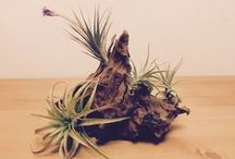 Love is in the Air...Plant! / This board is a companion to our guest blog from Plant Jungle about creating a unique air plant/driftwood piece of living art for your significant other for Valentine's Day! Be sure to visit their profile to check out their boards