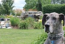 The Jung Seed Company Mascot / Macintosh is a Great Dane that has been visiting us here at Jungs for more than three years and he would like to share some of his experiences with you.