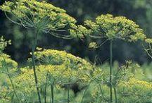 Herbs- Jung Seed Company