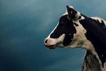cows / A place to love on, appreciate, capture and otherwise seep tribute to cows. Cows contribute. We like that.
