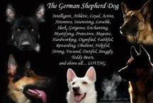 German Shepherd/Schutzhund / by Kelley Simnick