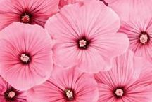 Pink Passion Particulars