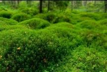 Moos - Moss / Das sanfte Grün. - The Gentle Green.