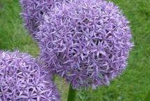 Lavender-lilac-purple