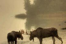 Deer ♡ Elk ♡ Moose ♡ Lodge / by Mindy Scott