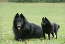Schipperke Collection :)