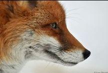 ♥ Füchse / Füchse sind einfach toll - in allen Formen!