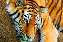 TIGERS / Tigres / by MMCL