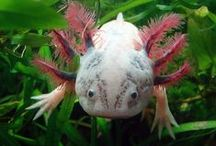 Axolotls ♡