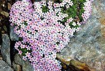 Alpine rockery