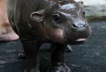 Hippos & Elephants