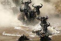 Herd animals  / Wild, impressive