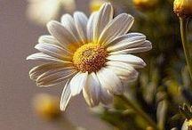 margaridas e flores amarela / Margaridas: É uma plantinha feminina, tendo como regente o planeta Vênus. É dedicada as Deusas Freya e Ártemis.Seu poder está ligado a sorte e o amor..
