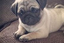 Pugs and Puppies