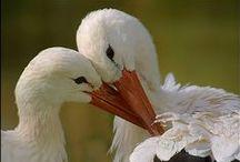 Gólya - fotók I. (300 kép) / Stork photos.