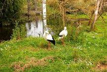 Gólya - fotók II. (300 kép) / Stork photos