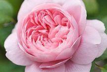 Rose / 薔薇
