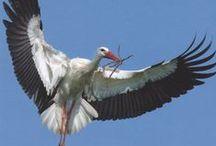 Gólya - fotók III. (300 kép) / Stork photos.
