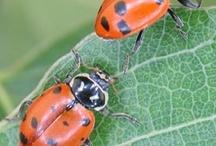 Ladybugs 'r Good luck!
