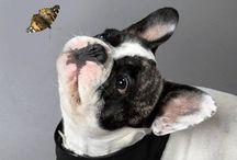 Eugen❤️❤️❤️ / Französische Bulldogge