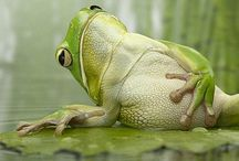 Amphibians/Obojživelníci