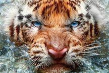 Big Cats/Mačičky