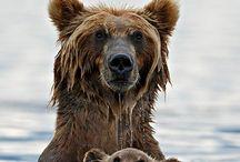 Bears/Medvedíky