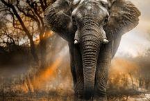 Elephants/Sloníky / The Largest Land Animal ♣️ Najväčšie Suchozemské Zviera