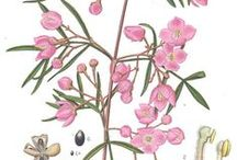 Australian Native Wildflowers / One of Australia's greatest treasures is her flora – a staggering 24,000 species of native plants have been identified compared to England's 1700 native plants.  Australian wildflower paintings by early painters such as George Raper and John Lewin.