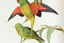 Australian Native Birds / Australia and its offshore islands and territories have 898 recorded bird species as of 2014. Of the recorded birds, 165 are considered vagrant or accidental visitors, of the remainder over 45% are classified as Australian endemics: found nowhere else on earth.