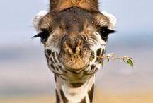 Zsiráfok (Giraffes)