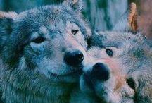 Lupi/Wolves