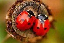 Coccinelle/Ladybugs