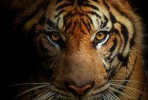 Tigers ...... Love em!