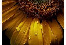Happy Sunflowers / Gorgeous happy sunflowers