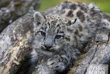 Bébés animaux / Avec plus de 450 naissances par an, Beauval assiste régulièrement aux premiers pas de nombreux bébés. Une joie toujours renouvelée et un véritable espoir pour les espèces menacées d'extinction.