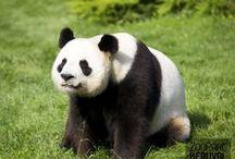 """Les Pandas Huan Huan et Yuan Zi / En Janvier 2012, le ZooParc de Beauval accueille un couple de pandas géants en provenance de Chengdu, Chine. Une arrivée de """"chefs d'Etat"""", ultra médiatisée, dûe à leur rang de Trésor National Chinois. Huan Huan (la femelle) et Yuan Zi (le mâle) coulent des jours heureux à Beauval... en attendant un prochain bébé ?"""