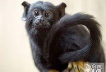 Primates de tous poils / Ouistitis, langurs, tamarins, sakis ...Primates à Beauval et ailleurs !