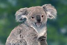 Paisibles Koalas / Visibles dans la Serre Australienne, des koalas, petits marsupiaux arboricoles, sont hébergés à Beauval depuis 2002… pour le plus grand plaisir des visiteurs !
