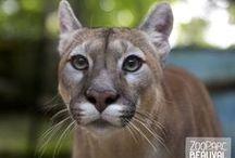 Fauves / Vous découvrirez à Beauval plus d'une trentaine de fauves dans de vastes espaces. Des lions blancs aux servals en passant par les célèbres tigres blancs, vous croiserez également des pumas, des tigres de Sumatra, d'imposants jaguars et bien d'autres encore !