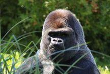 Impressionnants Grands Singes / Le ZooParc de Beauval héberge plus d'une vingtaine d'espèces de primates. Les Grands Singes sont ici représentés par des groupes de gorilles, d'orangs-outans et de chimpanzés !