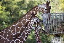 La Savane Africaine / Girafes, zèbres, rhinocéros blanc… c'est en tout plus d'une soixantaine d'individus répartis en une dizaine d'espèces différentes qui cohabitent sur une immense plaine de 3 hectares.