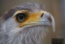 Rapaces / Près d'une trentaine de rapaces vous est présentée au ZooParc de Beauval : pygargues à queue blanche, chouettes de l' Oural, vautours de l'Himalaya... Vous pourrez en apprécier certains lors du spectacle de rapaces en vol libre qui se déroule de mars à novembre.
