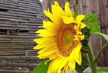 Sunflowers  / by Susan Anderson