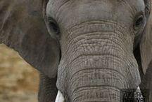 La plaine des éléphants / La harde d'éléphants de Beauval dispose d'une immense plaine en herbe jouxtant un parc en sable. Un éléphanteau issu d'une insémination artificielle a vu le jour à Beauval le 20 juillet 2012 : une première en France !