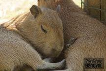 La Pampa sud-américaine / Sur la « Pampa » de Beauval, on croise des capybaras, des tapirs terrestres, des nandous et des maras… espèces méconnues et étonnantes !