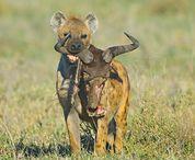 Spotted hyena - My spirit animal
